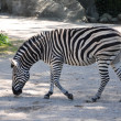Burchells Zebra — Stockfoto