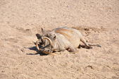 Wild boar with tusk — Stock Photo