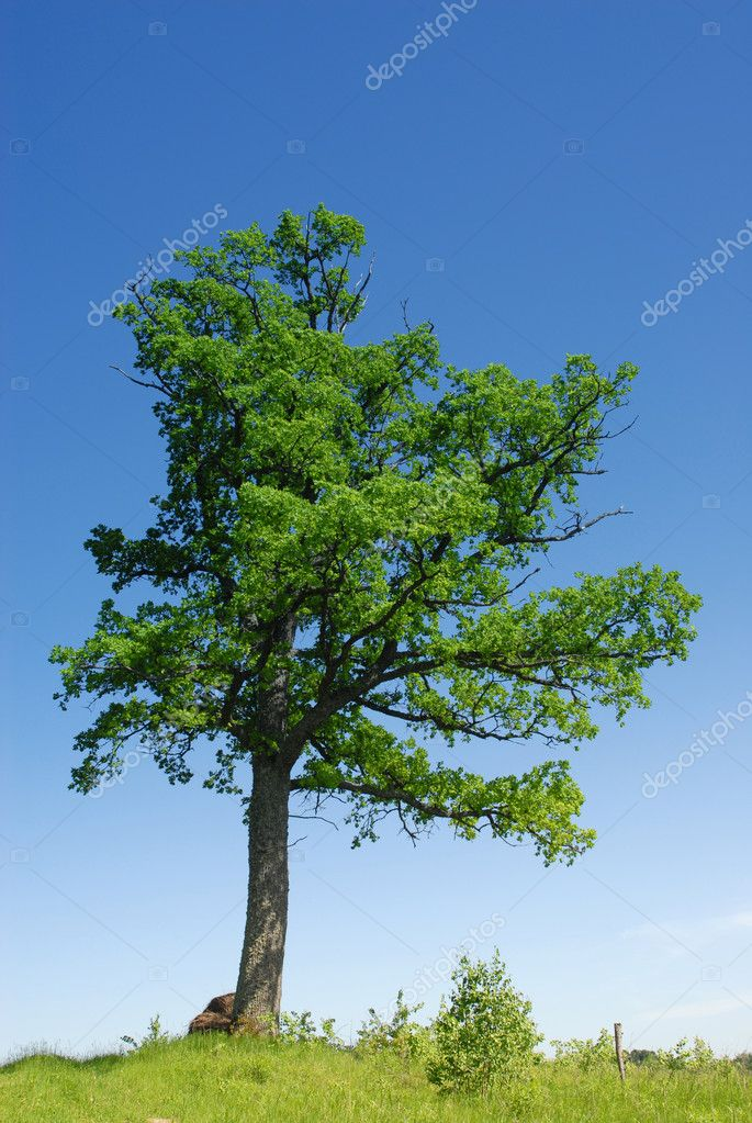 Oak tree in full leaf standing alone in a field in summer — Stock Photo #5719834