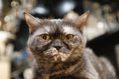 Portrait of pedigreed cat — Stock Photo