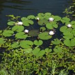 Stock Photo: Water lillies
