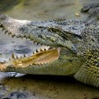 Stock Photo: Crocodiles in a farm