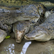 Wildlife crocodiles — Stock Photo #6721604