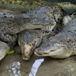 Wildlife crocodiles — Stock Photo