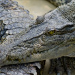 Closeup of a crocodile — Stock Photo