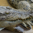 Closeup of a dangerous crocodile — Stock Photo