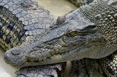 Closeup of a crocodile — Stock Photo