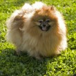 Stock Photo: Pomeranispitz