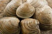 Close up of Littleneck Clams — Stock Photo
