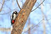 Woodpecker on a tree trunk — Stock Photo