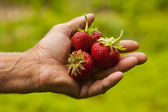 Strawberry in her hand — Stock Photo