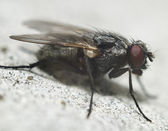 Fly closeup — Stock Photo