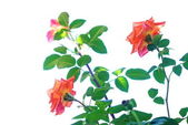 Arbusto de rosas — Foto de Stock