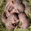Newborn rats — Stock Photo