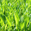 Sprouts of green wheat - Foto Stock