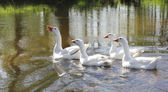 Four geese — Stock Photo