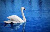 Weißer schwan — Stockfoto