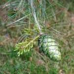 Die Zapfen der Chinesischen Weiß-Kiefer im Frühjahr. — Stock Photo