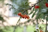 Die Früchte der Eberesche im Juli. — Stock Photo