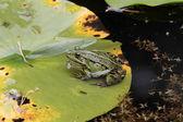 Ein Teichfrosch sitzt auf dem Blatt einer Seerose. — Stock Photo