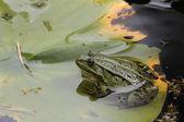 Ein Teichfrosch auf dem Blatt einer Wasserrose. — Stock Photo