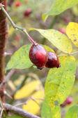 Die Früchte der Apfel-Rose im Herbst. — Stock Photo