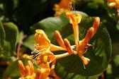 Blüte das Gold-Geißblattes im Frühsommer. — Stock Photo