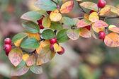 Die Früchte der Zwergmispel im Herbst. — Stock Photo