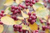 Die Früchte der Zwergmispel im Herbst. — Foto Stock