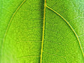 Leaf Veins — Stock Photo