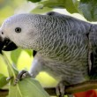 An African Grey Parrot — Stock Photo #6592260
