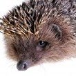 Stock Photo: Young hedgehog