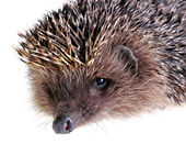 Young hedgehog — Stock Photo