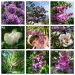 Collage with lilac and white flowers - Stock Photo