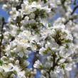 Stock Photo: Blossoming white cherry branch