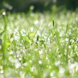 Green grass field covered with dew — Stock Photo