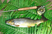 Brown trout — Stock Photo