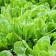 Stock Photo: Fresh leaves of spinach