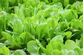 Fresh leaves of spinach — Stock Photo