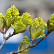 Branch of growing buds on the gree — Stock Photo