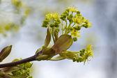 春天树芽 — 图库照片