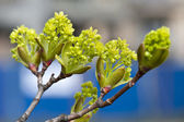 Branch of growing buds on the gree — Stockfoto