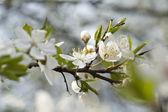 Flores brancas de cereja — Foto Stock