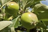 Zelená, ekologické jablko na stromě — Stock fotografie