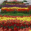 Colorful tulips rows - flowerbed in city park — Stock Photo #5822244