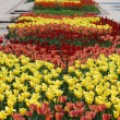Colorful tulips rows - flowerbed in city park — Stock Photo #6206382