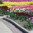 Colorful tulips rows - flowerbed in city park — Stock Photo #6206409