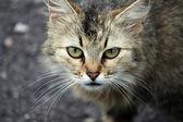The muzzle of a cat closeup — Foto Stock