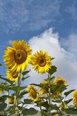 De lijn van zonnebloemen — Stockfoto