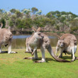 Group of kangaroos in Phillip Island Wildlife Park - Stock Photo